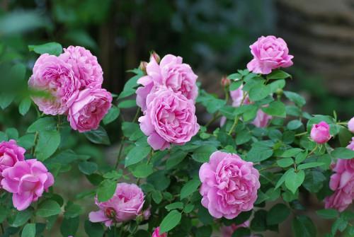 mary-rose1751401d34f507896.jpg