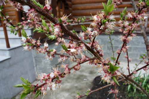 Prunus_armeniaca_16_02cd65156238af0fcf.jpg