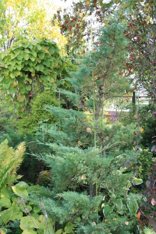 19-MOZZEVELNIK-juniperus-virginiana-grey-orl-19-7385634195faae455.jpg
