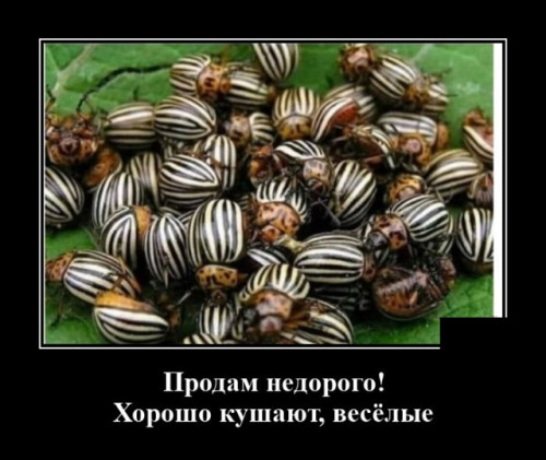 KOLORADSKII-ZUKc344a38f92d6d2ba.jpg